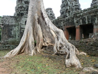 Famous Roots at Angkor Wat Ruins
