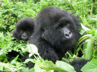 Gorillas in the Mist - the Amahoro Family