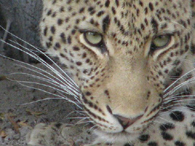 Leopard near our tented camp