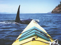 A lucky Orca whale photo from Bobbie M.'s disposable camera!