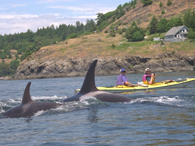 Orca Whale at Kayak Bow